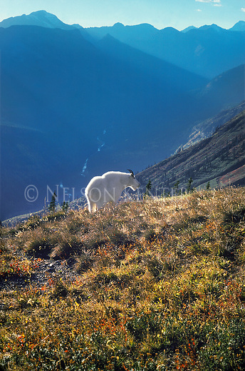 Mountain Goat high above the valley floor in  Glacier National Park in Montana