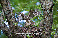 00794-00702 Red-shouldered Hawks (Buteo lineatus) nestlings at nest exercising wings,  Marion Co., IL