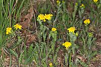 Frühlings-Greiskraut, Frühlingsgreiskraut, Greiskraut, Frühlingskreuzkraut, Frühlings-Kreuzkraut, Kreuzkraut, Senecio vernalis, Eastern groundsel