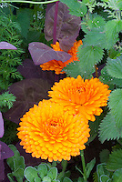 Calendula officinalis Pot marigold