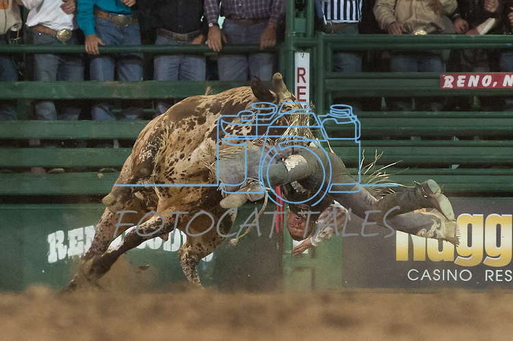 Steve Woolsey from Payson, Utah is tossed from a bull during the final night of Reno Rodeo on Saturday, June 28, 2014.<br /> (Photo By Kevin Clifford)