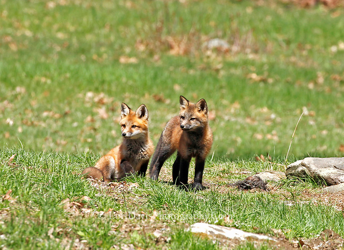 Two red fox pups