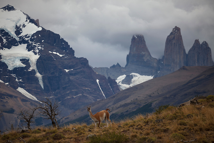 A solitary Guanaco moves across the slopes  below the mighty Towers of Paine