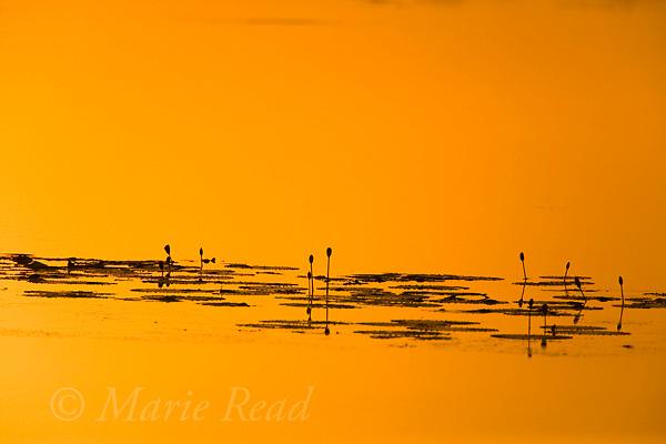 Water lily silhouettes at sunrise, Mamukala Wetlands, Kakadu National Park, Northern Territory, Australia