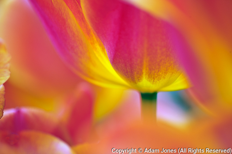 Close-up of underside of tulip flower, Kuekenhof Gardens, Lisse, Netherlands, Holland