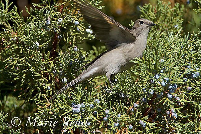 Townsend's Solitaire (Myadestes townsendii), raises its wing for balance as it lands to feed on Western (=Sierra) Juniper berries in autumn, Mono Lake Basin, California, USA