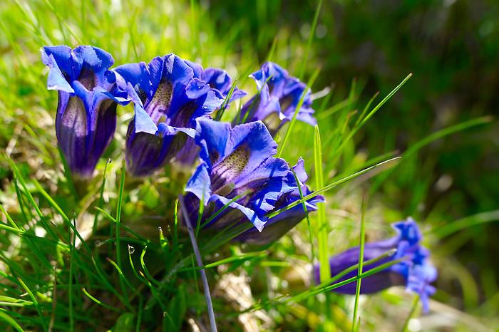Trumpet Gentian ( Gentiana Acaulis ) . Faulhorn Mountain , Bernese Alps . Switzerland Europe