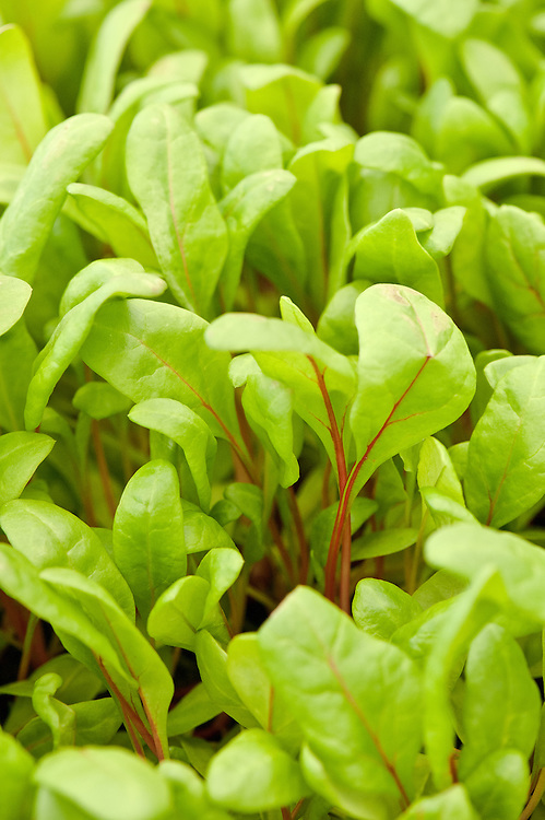 Leaf beet 'Flamingo', a form of perpetual spinach.