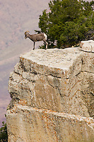 Desert Bighorn Sheep (Ovis canadensis nelsoni)--young ram.  Grand Canyon National Park, Arizona.