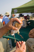 Red Knot, wearing a radio transmitter on its leg, for scientific study, Delaware Bay, New Jersey