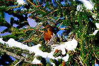 Fichtenkreuzschnabel, Männchen am Nest im Winter bei Schnee, füttert Küken, Jungvögel, Winterbrut, Fichten-Kreuzschnabel, Kreuzschnabel, Loxia curvirostra, common crossbill, red crossbill, crossbill, male, Le Bec-croisé des sapins
