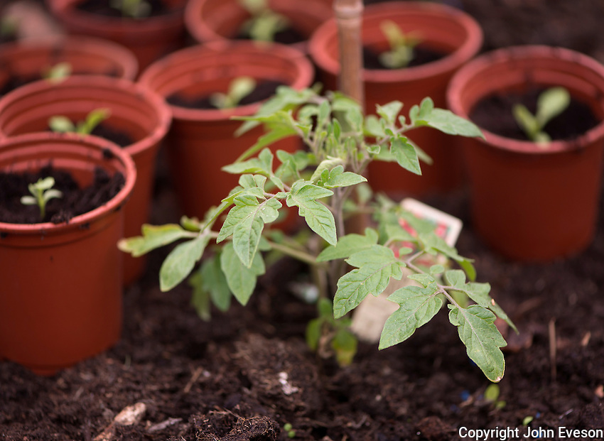 Young tomato in a greenhouse, Chipping, Lancashire.