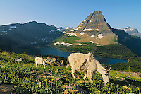 Mountain Goat (Oreamnos americanus) nanny with kid.  Glacier National Park, Montana.  Summer.