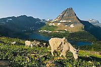 Mountain Goat (Oreamnos americanus) nanny with kid.  Glacier National Park, Montana.  Summer.