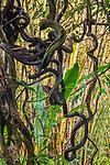 USA, Hawaii, liana vines