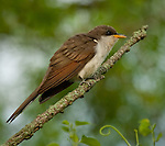 Yellow-billed Cuckoo, Missouri