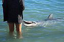 A dolphin at Monkey Mia. Western Australia.
