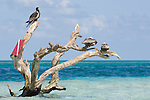 Long Caye, Glover's Reef Marine Reserve, Belize, Central America; a female Magnificent Frigatebird (Fregata magnificens) and Brown Pelicans (Pelecanus occidentalis) sit on a dead tree emerging from a sand bar off Long Caye , Copyright © Matthew Meier, matthewmeierphoto.com All Rights Reserved
