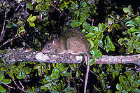 Black rat, Rattus rattus.  Introduced to Hawaii in the 1800's is an invasive species that preys on native forest birds and plants causing endangermend and extinction of native species.