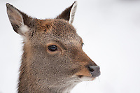 Sika, Sika-Hirsch, Sikahirsch, Sikawild, Sika-Wild, Jungtier, Cervus nippon, sika deer