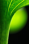 close-up of a calla lily stem -commercial/editorial licensing for this image is available through: http://www.gettyimages.com/detail/200472858-001/Photographers-Choice