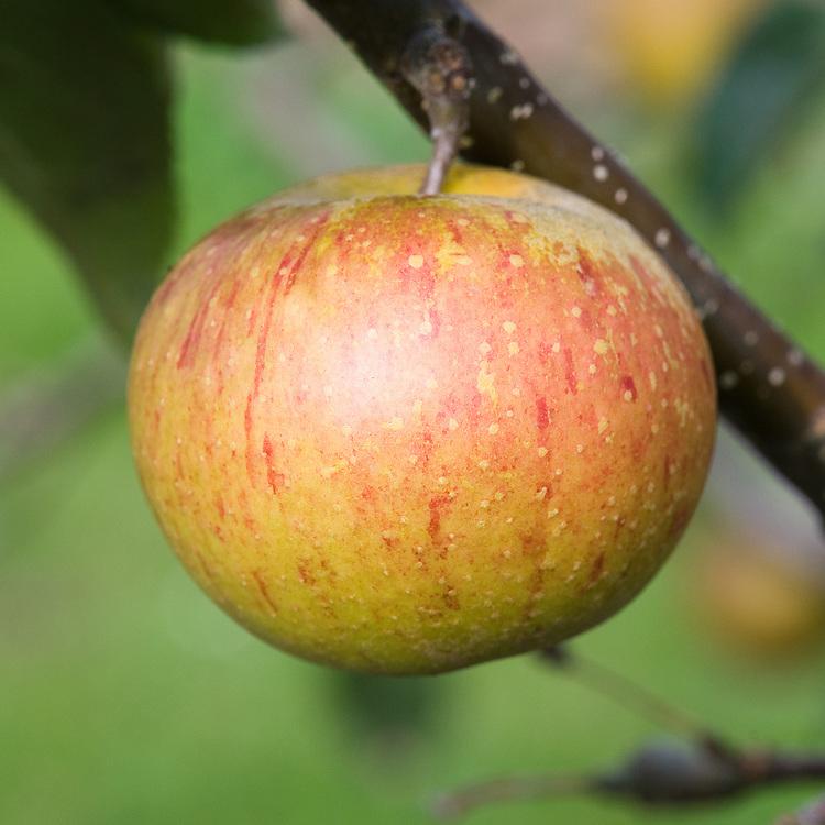 Apple 'Rubinette', mid September. A Swiss dessert apple raised in 1966 by Walter Hauenstein at Rafz on the Swiss-German border. Originally named 'Rafzubin' but sold commercially as Apple 'Rubinette'.