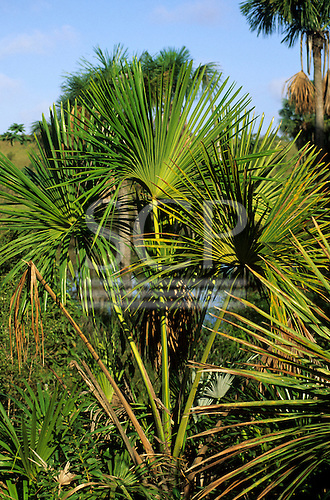 Amazonia, Brazil. Green palm leaves in the sun.