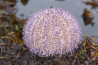 Common Sea Urchin - Echinus esculentus