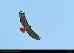 Red-tailed Hawk in Flight, Bolsa Chica Wildlife Refuge, Southern California