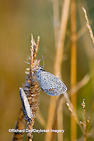 03226-01112 Eastern Tailed-Blue (Everes comyntas) butterfly in early morning dew, Marion Co. IL