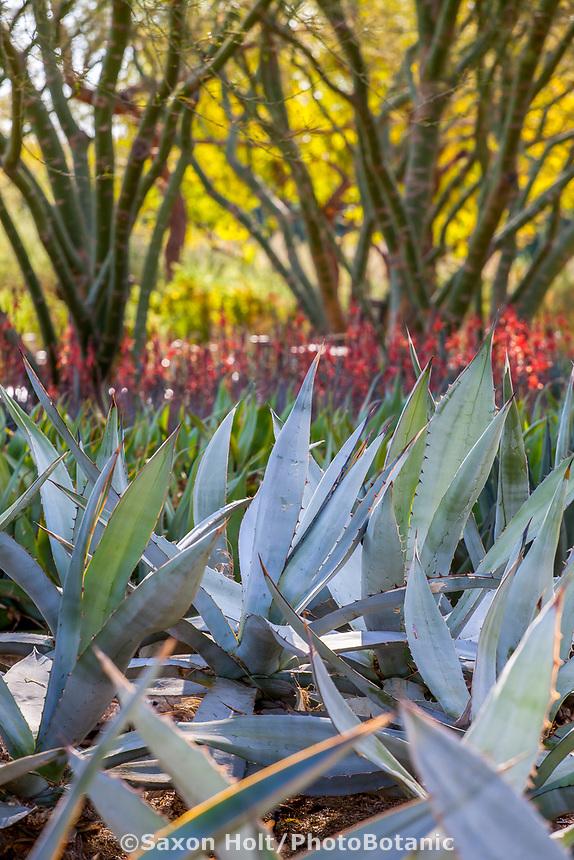 Sharkskin Agave in Sunnylands garden, Southern California