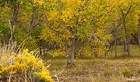 Fall foliage in Cottonwood trees in creek drainage, West Bijou Ranch, Strasburg Colorado; managed by Savory Institute,