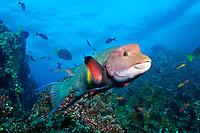 Mexican Hogfish (Bodianus diplotaenia) underwater in the Galapagos Islands of Ecuador.
