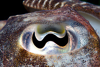 European Cuttlefish ( Sepia officinalis ) ( c ) Close up image of it's eye. Range: shallow waters of the Atlantic from Europe to Africa, also the Mediterranean Sea.