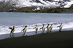 King Penguins exit the ocean onto a beach in Gold Harbour, South Georgia Island.
