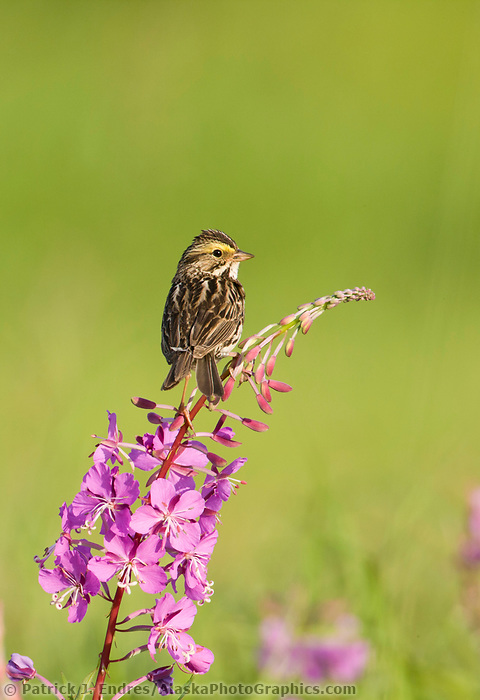 Savannah sparrow, Creamer's Field Migratory Waterfowl Refuge, Fairbanks, Alaska.