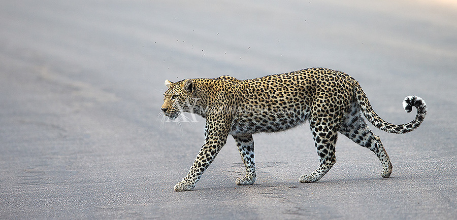 We saw several leopards in Kruger.  This was probably the best open sighting.