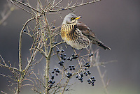 Fieldfare, Turdus pilaris,adult, Klingnau, Switzerland, Europe