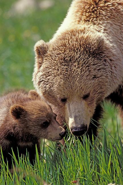 USA, ALASKA, DENALI NATIONAL PARK, GRIZZLY BEAR SOW WITH CUB, GRAZING