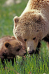 USA, ALASKA, DENALI NATIONAL PARK, GRIZZLY BEAR SOW WITH CUB, GRAZING