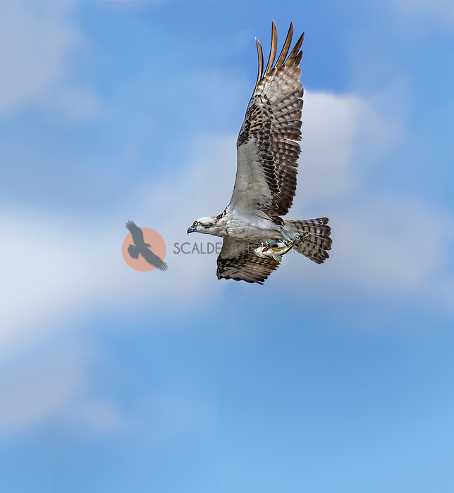 Osprey in flight with fish in claws