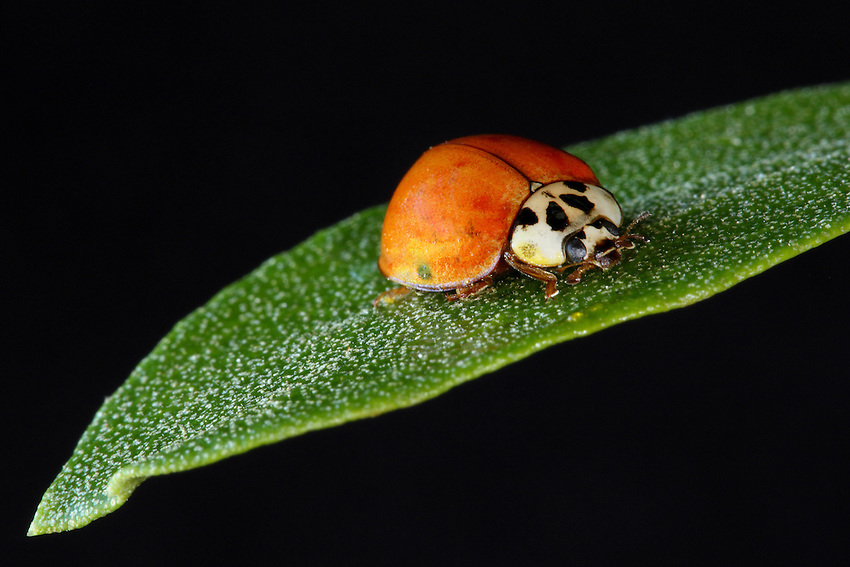 Asian Lady Beetle on a single leaf.