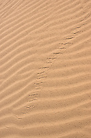 Tracks of Colorado Desert sidewinder, Crotalus cerastes laterorepens, Algodones Dunes, California