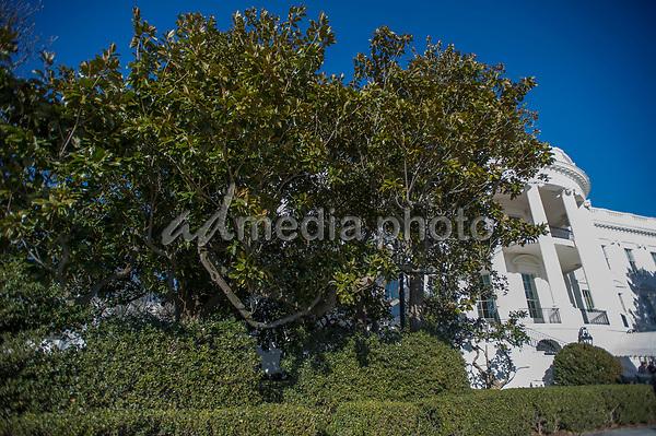 White House Jackson Magnolia Tree Admedia Photo