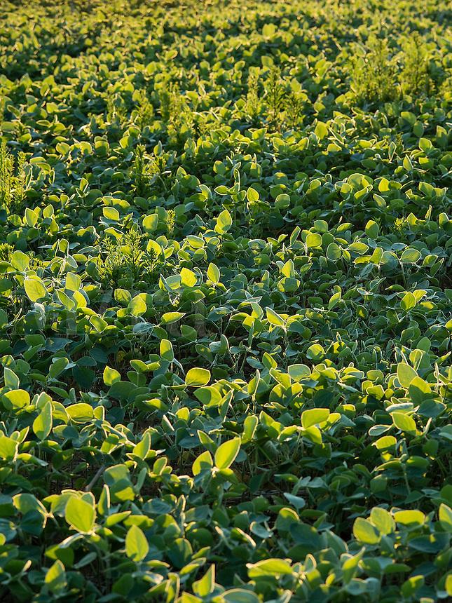 Soybean crop, Glycine max