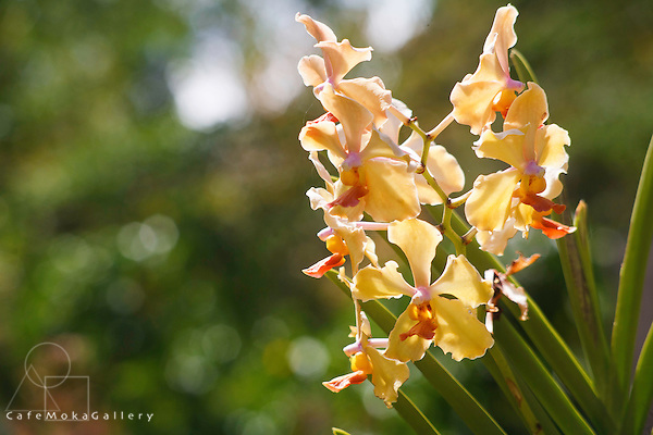 Yellow orchid  in sunlight at Mamuka Gardens