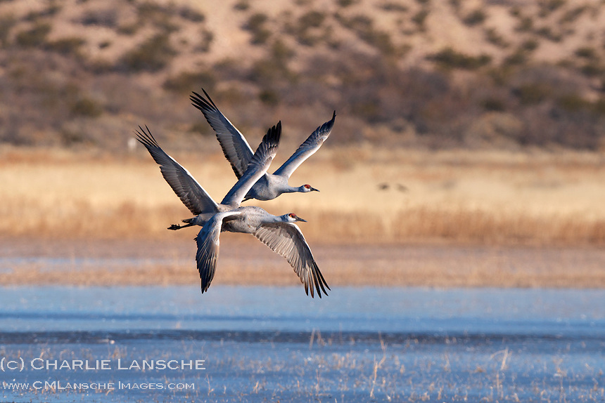 Although I photographed these synchronized sandhill cranes in their New Mexican winter habitat a couple of months ago, they are now beginning the spring migration northward. I look forward to their return to summer nesting grounds in Utah and Idaho.