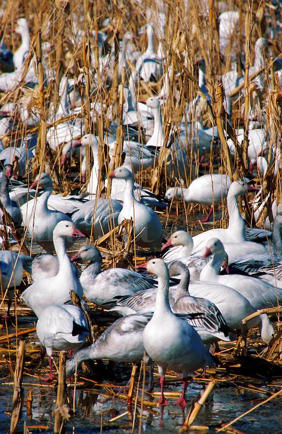 Snow geese flock in corn field stubble