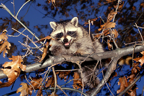 Angry raccoon, Procyon lotor, protects its tree nest, Missouri USA