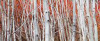 white bark poplars trees (Populus tremuloides) in California native plant garden